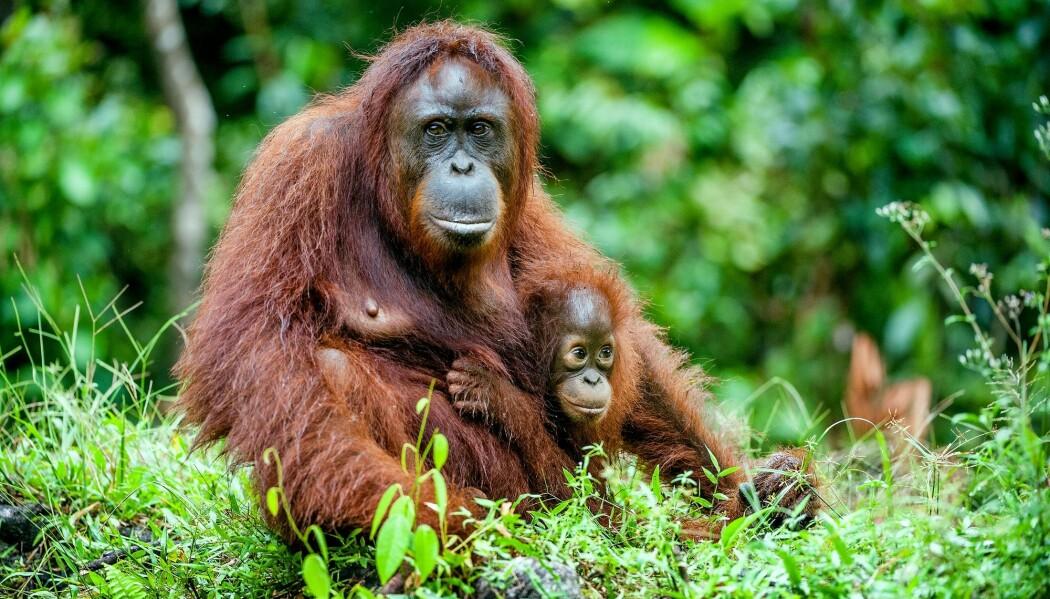 Forskere har studert varslingsropene til orangutangmødre med barn. (Foto: Sergey Uryadnikov / Shutterstock / NTB scanpix).