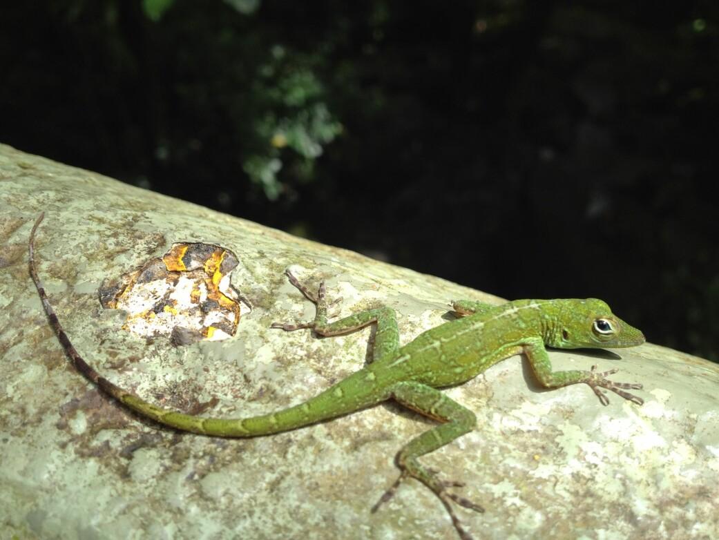 Insekteterne har blitt færre i Luquillo-skogen i Puerto Rico i takt med at mengden insekter har gått ned. Anolis evermanni er en av øglene som forsyner seg av småkryp der. (Foto: bagaball/Wikimedia Commons CC BY 2.0)