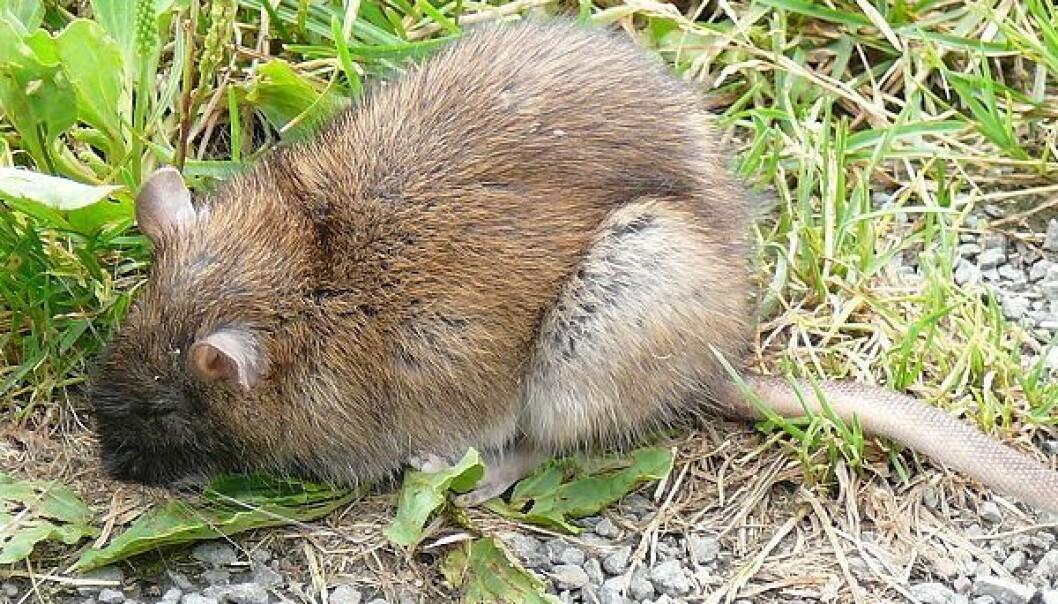 <p><em>Rattus norvegicus</em> - den gode, gamle brunrotta.</p> (Foto: Salix, Wikimedia Commons)