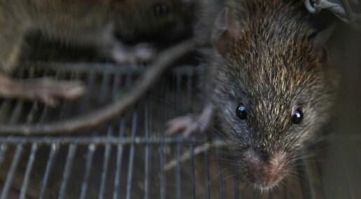 Vi aner ikke hvor mange rotter som lever i norske byer