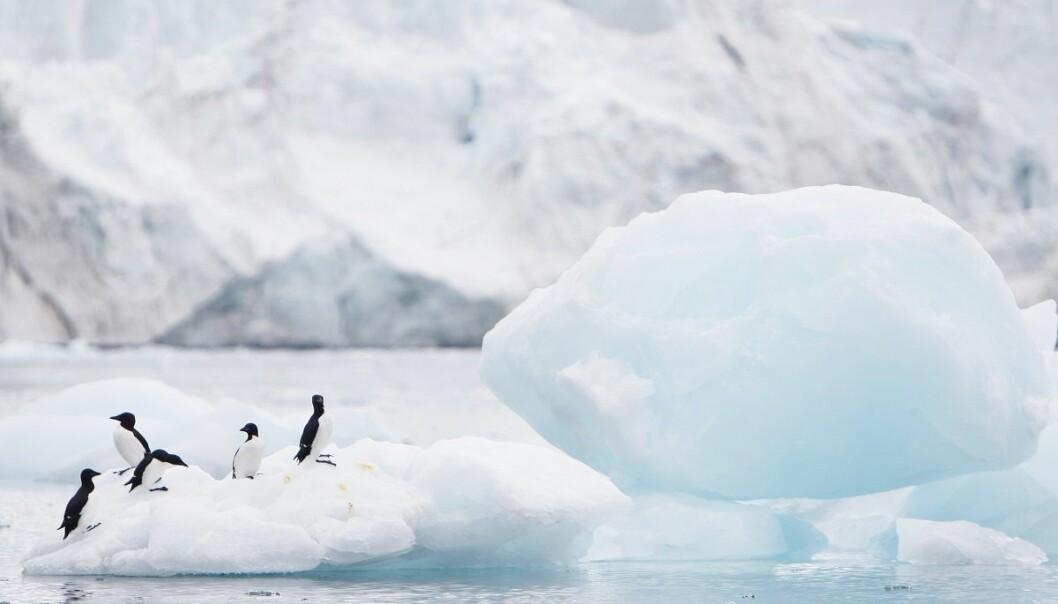 Sjøis som smelter i Arktis gir kaldere luftstrømmer lenger sør, og dermed hardere vinter og vår. Dette gir reduserte avlinger i Nord-Amerika, ifølge en fersk studie. (Foto: Håkon M. Larsen, NTB scanpix)