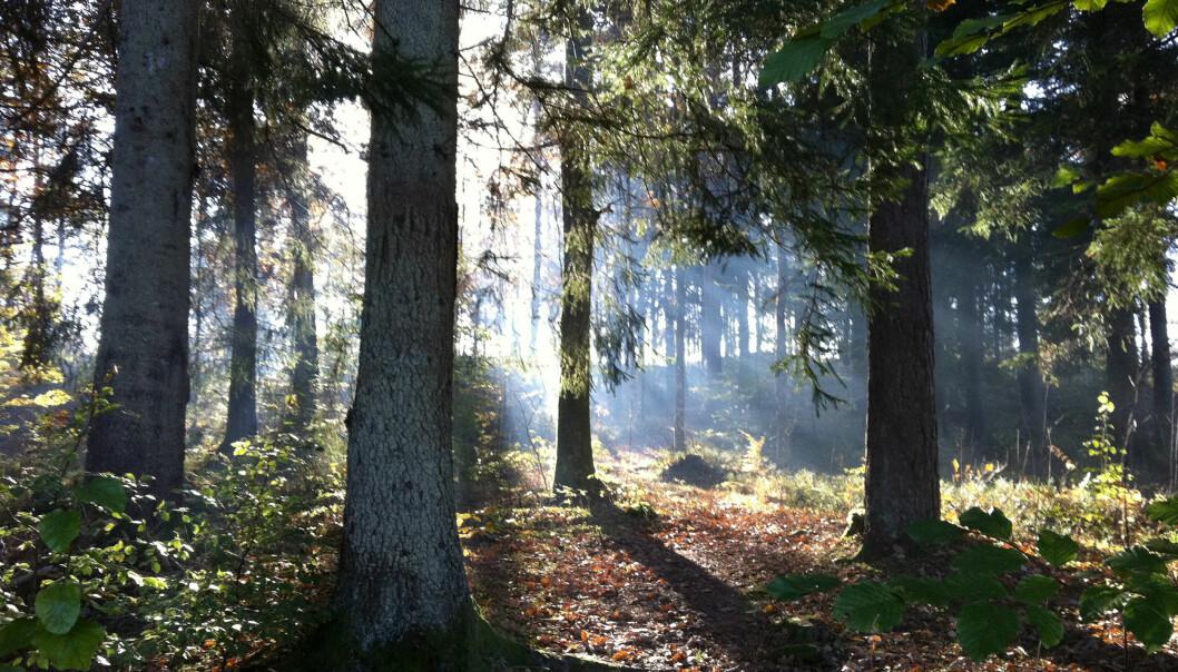 Hva er bakgrunnen for skogforskningen, hva inneholder den, og hvorfor er skogforskningen viktig? Og ikke minst: Hva er skogens rolle i fremtiden? (Foto: Colourbox)