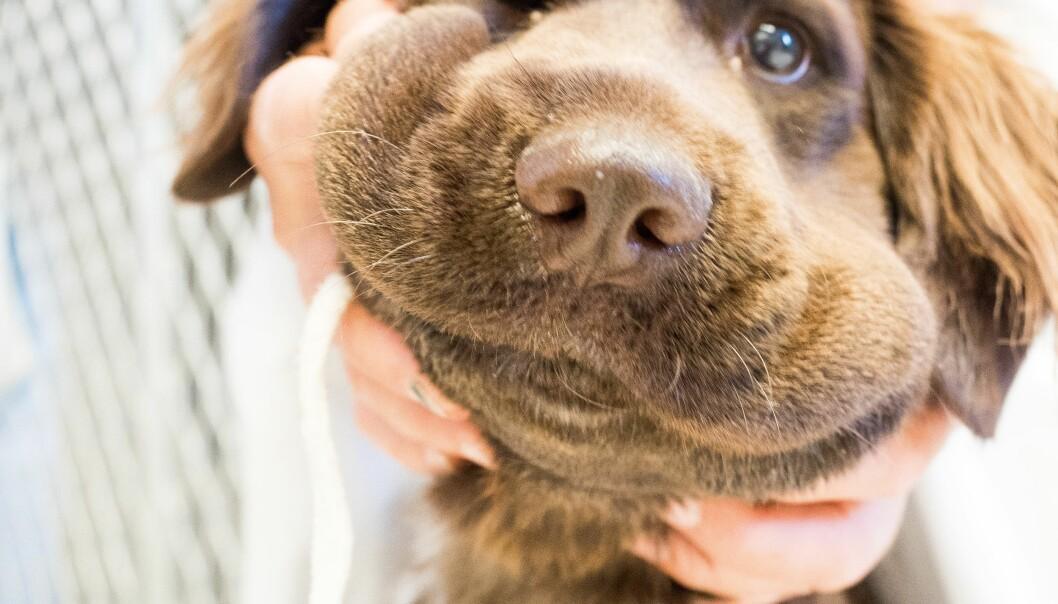 Hunden Liva ble bitt av hoggorm da hun var ute og lekte i hagen. I løpet av fem minutter hovnet snuten opp, hodet hang og hun virket litt fjern. Men symptomene på hoggormbitt er ikke like hos alle hunder, så det er viktig å være obs på det, forteller veterinær.  (Foto: Camilla Wiik)