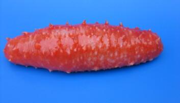 Ville du spist denne norske sjøpølsa? Det vil de gjerne i Asia