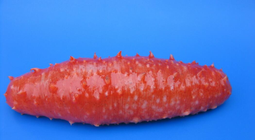 Blant næringskomponentene i sjøpølser finnes vitaminer, mineraler og aminosyrer. De inneholder også en del kalsium, noe som er en mangelvare i det asiatiske kostholdet. (Foto: Margareth Kjerstad / Møreforsking)