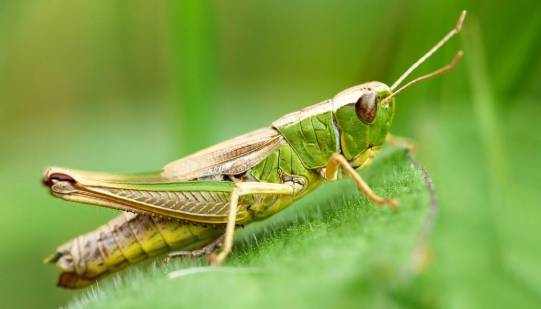 Ser du det fine bladmønsteret som enggresshoppa har på kroppen? (Foto: Shutterstock /NTB scanpix)