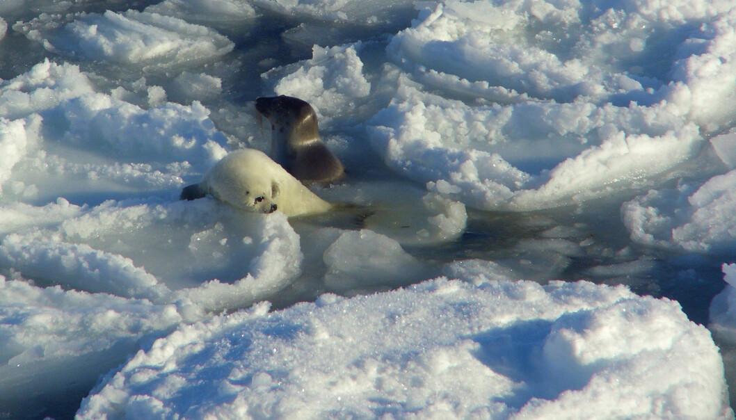 - Vi ser at grønlandsselen får færre unger enn før. I tillegg vet vi at dårligere isforhold der selen yngler, fører til at flere av årsungene bukker under, skriver forskerne. (Foto: Michael Poltermann / Havforskningsinstituttet)