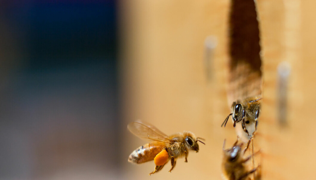 Bier i USA er blitt behandlet med antibiotika over flere tiår, mens norske bier ikke har fått noe. Hva har det gjort med tarmfloraen deres?  (Illustrasjonsfoto: Emily Skeels / Shutterstock / NTB scanpix)