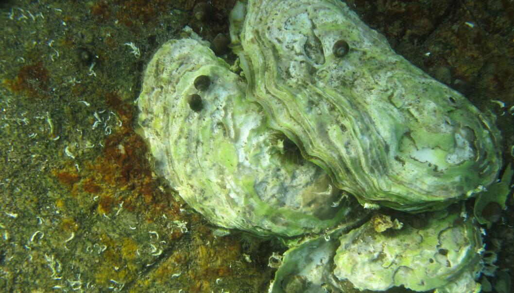 Stillehavsøsters kan slippe opptil 200 millioner egg i vannet, men liker å ha det varmt. Kjønnsmodning og gyting krever temperaturer over 16-20 grader flere dager i strekk. (Foto: Eli Rinde, NIVA)