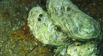 Forskere avslører den forhatte østers fortid