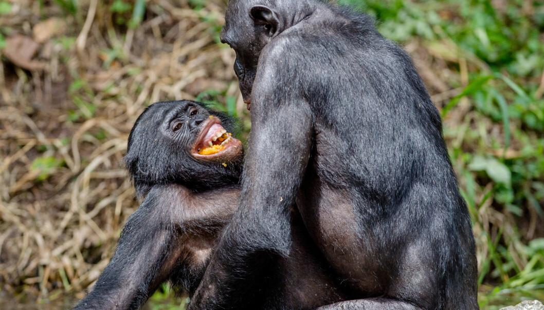Bonoapene har ingen seksuelle hemninger.  (Foto: Shutterstock)