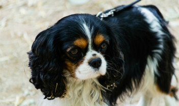 Uetisk hundeavl: Mattilsynet må slutte med tomprat