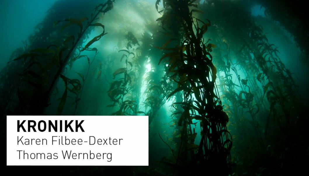 - Over ein tredel av tareskogane i verdshava har hatt tilbakegang dei siste femti åra. Årsaka ser ut til å vere eit varmare hav, skriv Filbee-Dexter og Wernberg. (Foto: Shutterstock / NTB Scanpix)