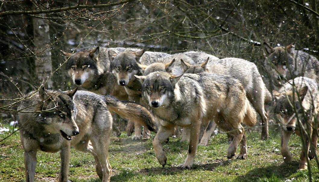 En ulveflokk. Dette er et illustrasjonsbilde.  (Foto: die Fotosynthese / Shutterstock / NTB scanpix)