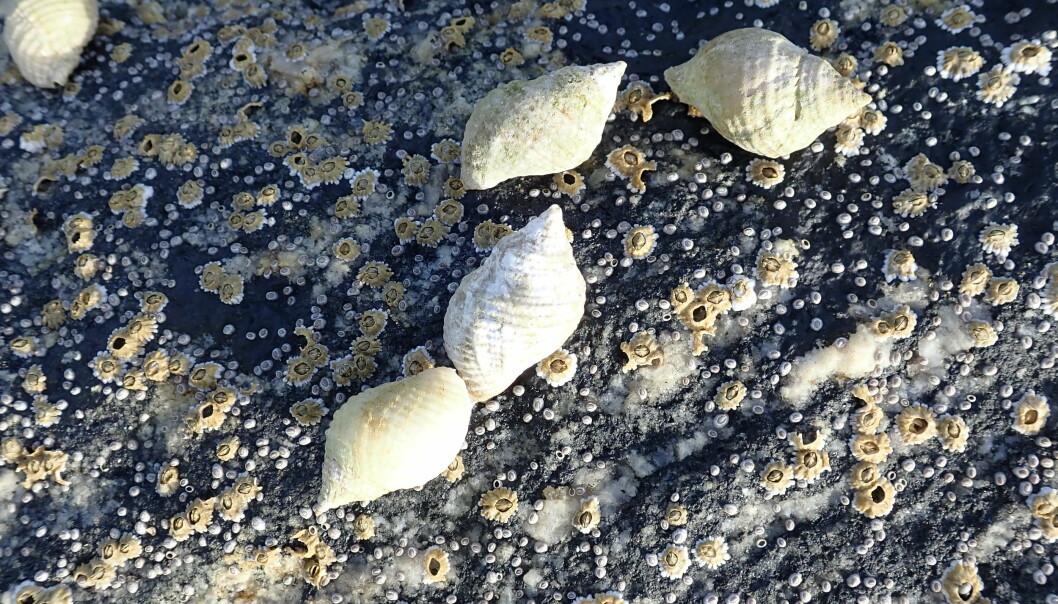 Purpursnegler (Nucella lapillus) er vanlig i fjæra på steiner og på svaberg utaskjærs i bølgeeksponerte områder langs hele norskekysten. Sneglen spiser rur, blåskjell og andre snegler. Purpursneglen blir igjen spist av krabber og fugl, og er viktig for økosystemet i fjæra. (Foto: Are Pedersen, NIVA)
