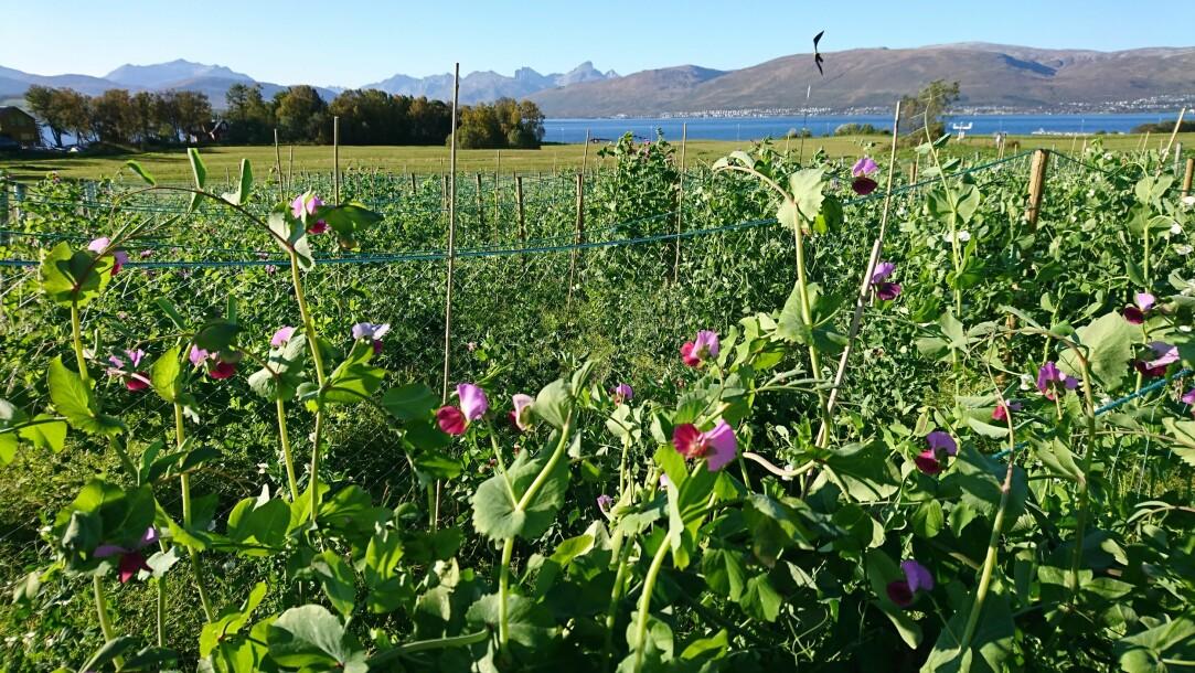 Denne sommeren er det blitt sådd femti ulike sorter erter i forsøksfelt i Tromsø. Dette er kun et lite utvalg av alle de gamle ertesortene som er tatt vare på i genbanken NordGen. (Foto: Ingunn Vågen).