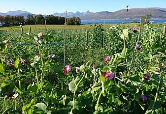 Blir norske erter en viktigere kilde til protein i et varmere klima?