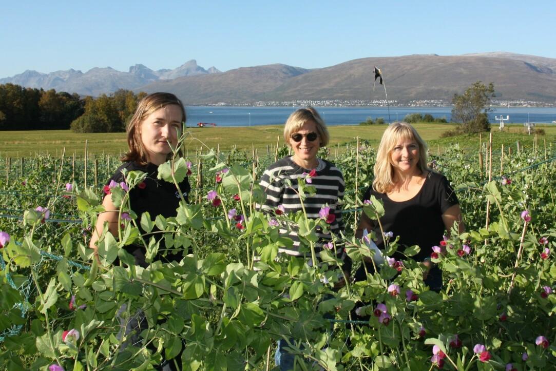 De tre NIBIO-forskerne Ewelina Wojciechowska, Inger Martinussen og Ingunn Vågen i ertefeltet på Holt i Tromsø. (Foto: Anne Linn Hykerud).