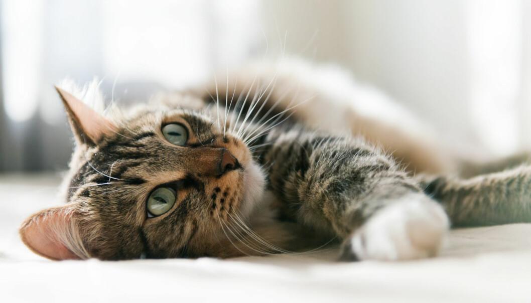 Det kan være vanskelig å få katter til å gjøre som vi vil fordi de i utgangspunktet ikke aksepterer at vi er sjefen, ifølge biolog. (Foto: Shutterstock / NTB scanpix)