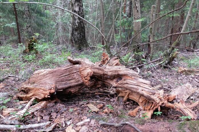 Slik ligger den døde veden i skogen. Til glede for mang en liten organisme. (Foto: Eivind Torgersen)