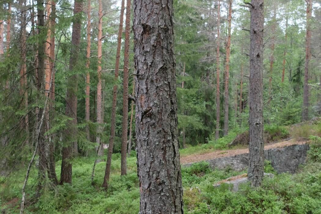 En rank furustamme i Lillomarka nord for Oslo. (Foto: Eivind Torgersen)