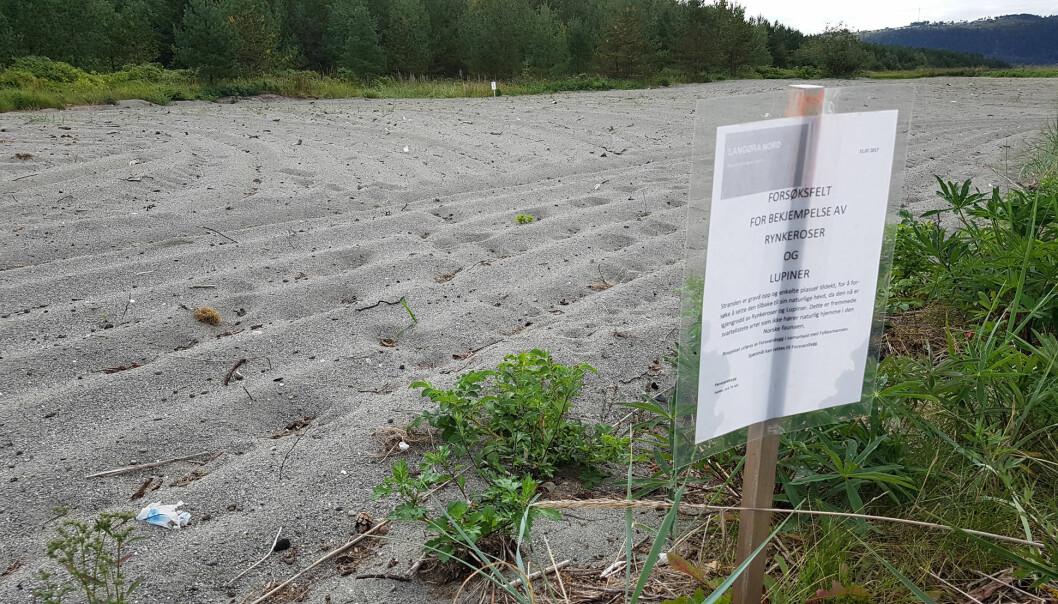 Dette området på Langøra ble ryddet for de fremmede plantene rynkerose og hagelupin, for å bedre betingelsene for den sterkt truede elvebreddedderkoppen. (Foto: Oddvar Hanssen/NINA)