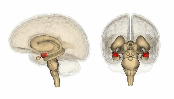 Amygdala er delt i to. På dette bilde er de farget røde. (Kilde: Life Science Databases(LSDB)) Bildelisens: CC BY-SA 2.1 JP. Lenke til lisens nederst i teksten.)