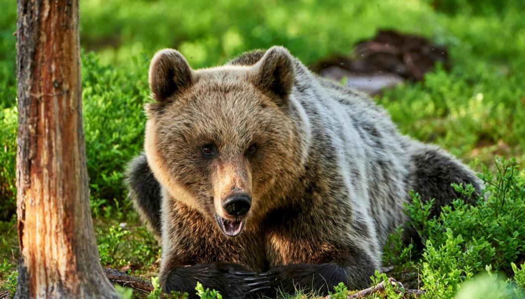 Bjørnen lever nesten utelukkende av blåbær og tyttebær om høsten. Men det er ikke ufarlig for bjørnen å ferdes der hvor det vokser mye bær. Da er de nemlig synlig for jegere.  (Illustrasjonsfoto: ArCaLu / Shutterstock / NTB scanpix)