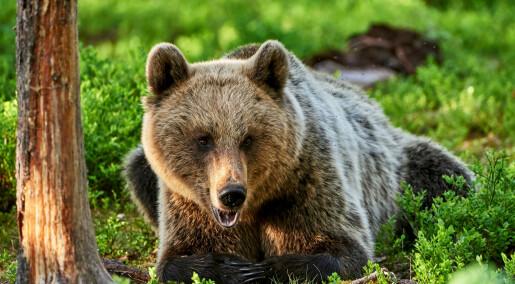 Bjørnen dropper frokosten for å unngå jegere