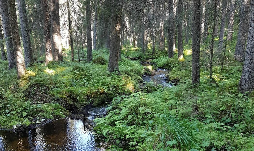 Moserik, fuktig og gammel granskog. Dette er «huldre-habitat»! (Foto: K. Margrethe Kvam Tingstad)