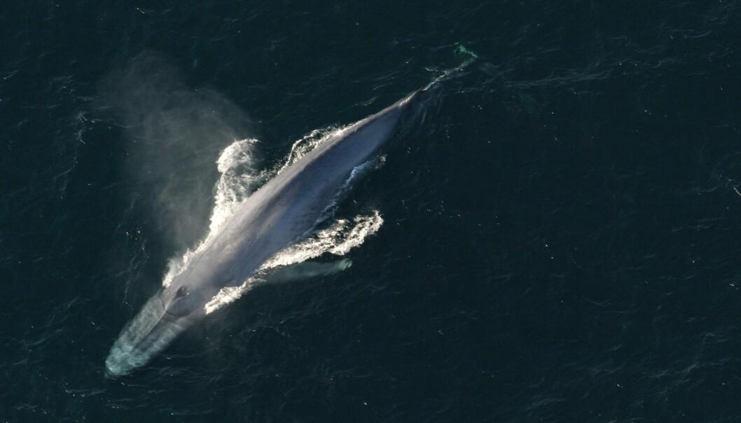 Blåhvalen kan bli 30 meter lang. Blåhvaler finnes i hav over hele verden. (Foto: Reuters)
