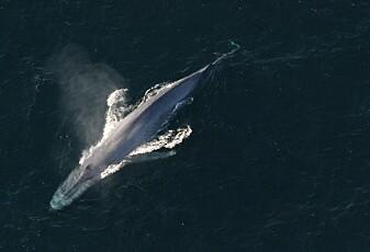 Hvorfor synger blåhvalene dypere enn før?