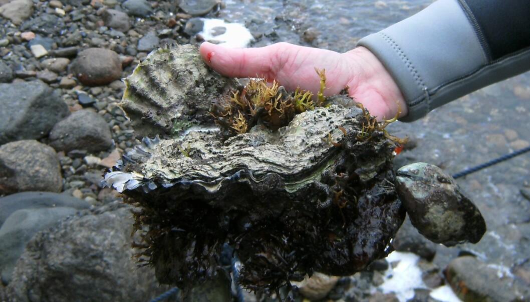 Stillehavsøsters er en ny, uønsket art i norske farvann. De sprer seg raskt og de neste årene kan det bli ti ganger så mange av dem. (Foto: Torjan Bodvin / Havforskningsinstituttet)