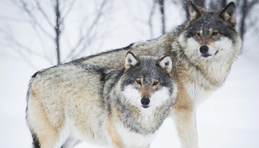 Hvor mange rovdyr kommer vi til å ha i fremtiden? Det skal forskere prøve å finne svar på. (Foto: Shutterstock / NTB Scanpix)