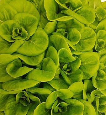 Denne salaten ble plantet i kunstig jord fremstilt av lavastein. Målet er at plantene skal vokse direkte i vann tilsatt plantenæring. (Foto: Silje Wolff)