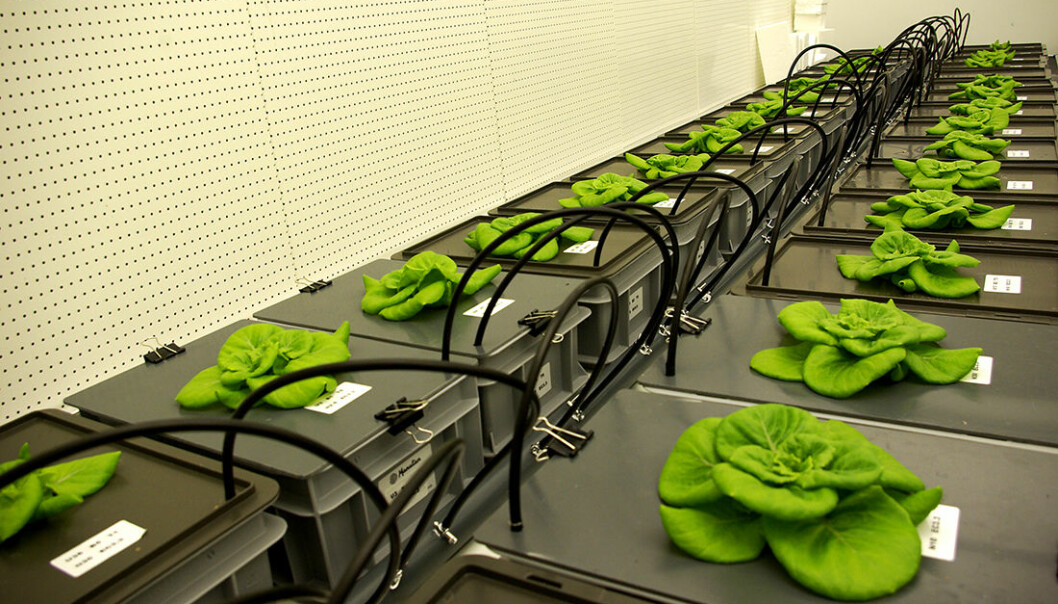 Plantene kan lukte hvor mye næring som er tilgjengelig, fant Silje Wolff ut, da hun gjorde forsøk i klimaregulerte vekstkammer i Nederland. (Foto: Silje Wolff)