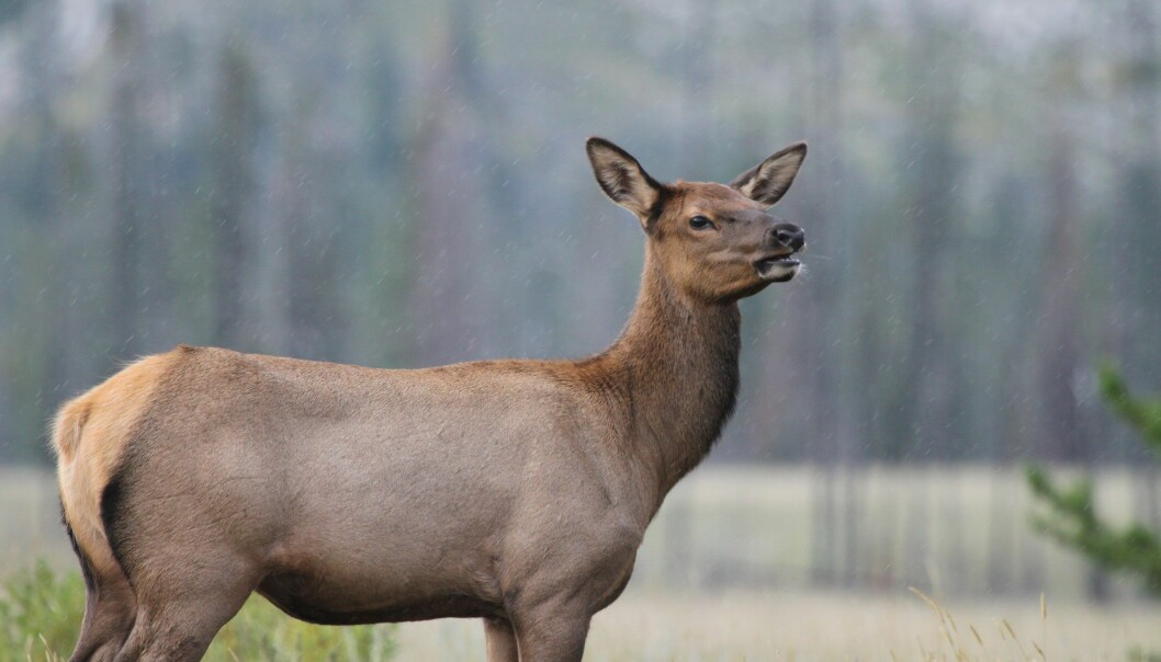 """""""Nesten usårlig"""", kaller forskerne de eldre hunnene i Canada. Hjorten er et tilpasningsdyktig byttedyr. (Foto: Mark Boyce)"""