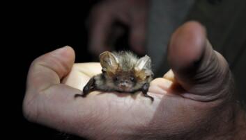 Forskere vet svært lite om hva flaggermusen. Hvor bor de om vinteren? Hvor hviler de på dagtid? Hvor jakter de? Et nytt prosjekt skal nå kartlegge aktiviteten til de mystiske skapningene. (Foto: Katrine Eldegard)