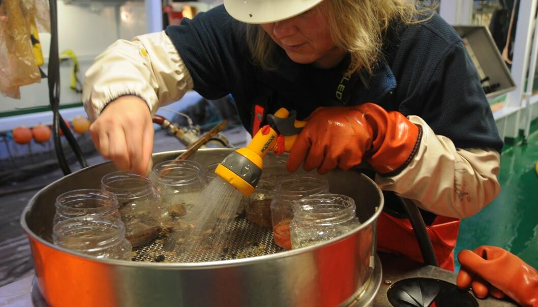 Dyrebare kalorier fra havbunnen ligger igjen i «dørslaget» når Heidi Gabrielsen spyler vekk sand og grus. (Foto: Beate Hoddevik/Havforskningsinstituttet)