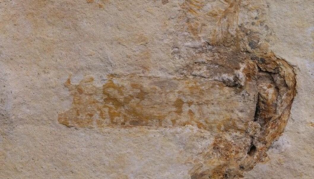 Verdens eldste fossil av sopp med hatt og stilk lå bevart i kalkstein, noe som ifølge forskerne er veldig uvanlig. (Foto: Jared Thomas)