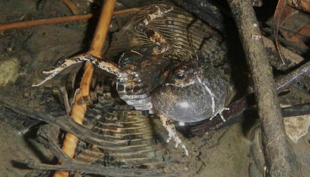 En hannfrosk av arten tungara frog i Panama bruker lyd for å tiltrekke seg hunner i Gamboa. En studie som ble lagt fra mandag viser hvordan urbane amfibier tilpasser seg livet nær og i byen og endrer kommunikasjonsstrategien sin med nye lyder enn i skogen. (Foto: Adam Dunn / AP / NTB scanpix)