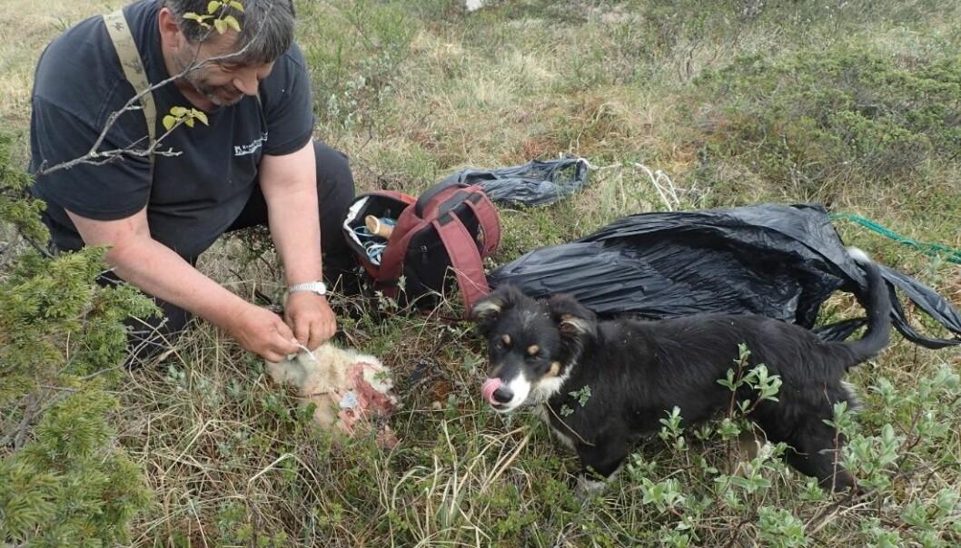 Bruk av kadaversøkende hunder i beitenæringa i Norge har blitt mer utbredt de senere år. Her legger Jonny Mathisen i Norske Kadaverhunder ut kadaver som skal brukes i et forsøk på å måle hvor effektive kadaverhunder er.  (Foto: Inger Hansen, NIBIO)