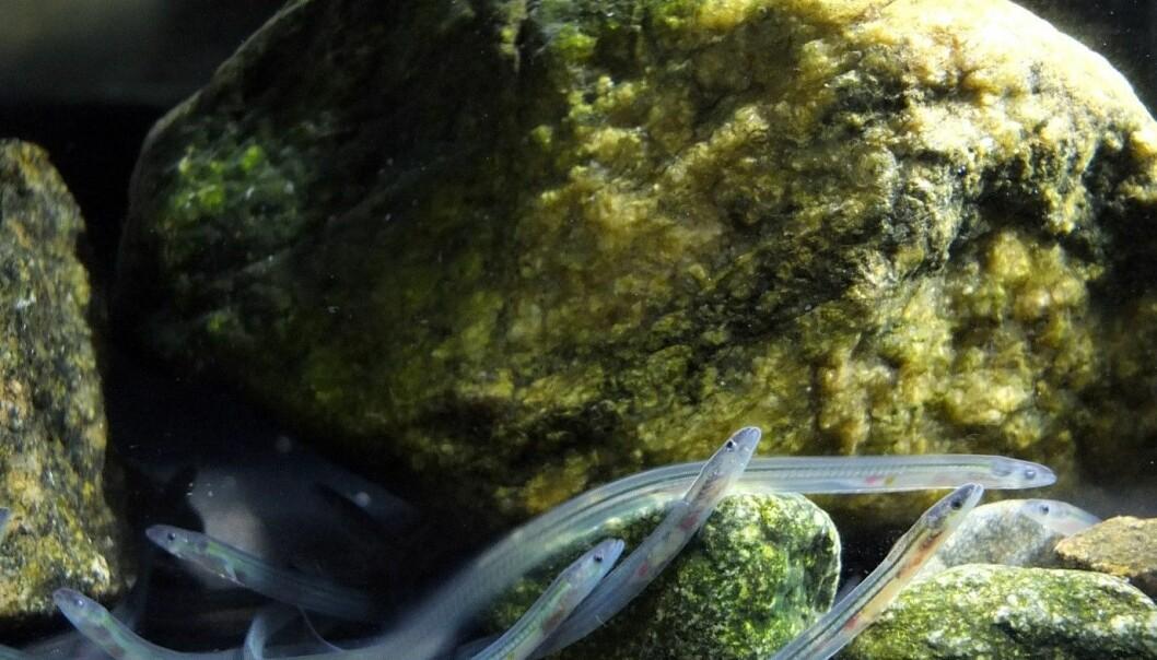 Europeisk ål (Anguilla anguilla) klekk i Sargassohavet. Som glasål hoppar han av golfstraumen mellom Kanariøyene og Nord-Norge. Men korleis finn han vegen dit? (Foto: Alessandro Cresci)