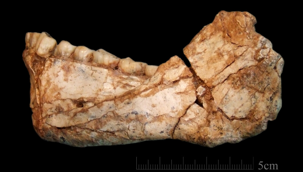 Dette kjevebenet tilhører det eldste, kjente nesten moderne mennesket vi vet om. Det er mellom 300 000 og 350 000 år gammelt.  (Foto: Jean-Jacques Hublin, MPI-EVA, Leipzig)