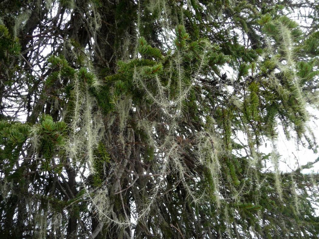 Huldrestry er en iøynefallende hengelav som likner mye på juletreglitter. Arten opptrer i fuktig, grandominert skog i åstrakter på Østlandet og noen få steder på Vestlandet, i Trøndelag og i Nordland. (Foto: Siri Lie Olsen)