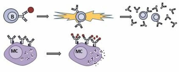 Øverst ser du første eksponering for allergen. B cellene som gjenkjenner allergenet aktiveres og produserer antistoffet IgE. Nederst ser du senere eksponeringer for allergen. IgE har festet seg på mastceller. IgE gjenkjenner allergen og dette trigger histaminutskillelse. (Illustrasjon: Elin Lunde)