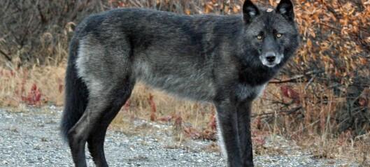 Når ulven kommer nært oss