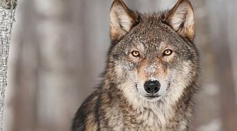 Svensk politi: Ulv trolig drept av elg