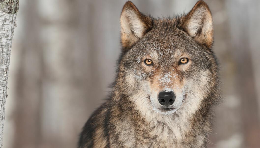 Forrige vinter ble det registrert 45 ulver som lever i grenserevir på begge sider av riksgrensen mellom Norge og Sverige. (Illustrasjonsfoto: Holly Kuchera / Shutterstock / NTB scanpix)