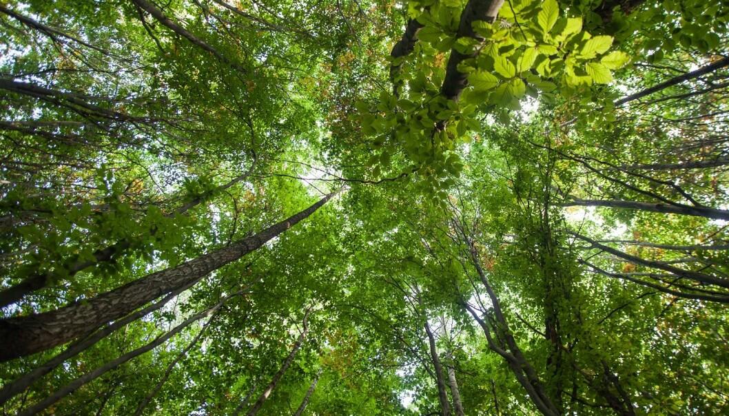 Flere steder kan du kjøpe trær som kompensasjon for flyreisen, men kan de utlikne bruken av fossilt drivstoff? (Foto: iiiphevgeniy / Shutterstock / NTB scanpix)